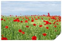green field red poppy flowers and blue sky , Print
