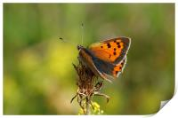 Small Copper Butterfly , Print
