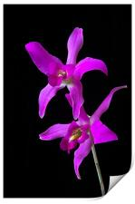 Pink Orchid , Print