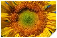Sunflower closeup , Print