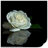 White Rose Reflected, Print