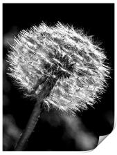 Dandy Days In Black And White., Print