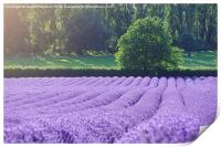Rows of Lavender, Print