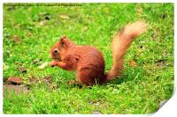 Red Squirrel, Print
