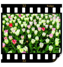 Tulips On Film, Print