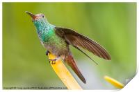 Hummingbird sitting with wing extended, Print