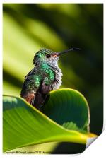 Hummingbird basking in dawn Sun, Print