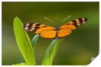 orange and black butterfly, Print