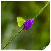 tropical green butterfly, Print