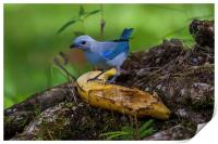 blue-gray tanager, Print