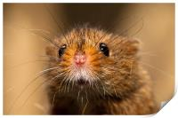 Harvest Mouse Close Up, Print