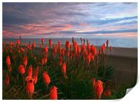 Red Hot Pokers, Print