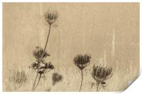 Queen Annes Lace 3, Print