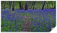 The Bluebells of Kings Wood, Print