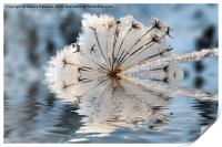 Frosted Cow Parsley, Print