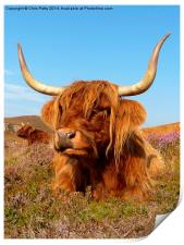 Highland Cattle, Highland Cow, Scotland, Print