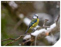 Winter Blue tit, Print