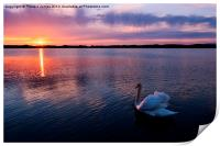 Swan at Sunset, Print