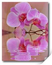 orchids reflected, Print
