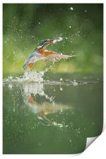 Kingfisher with catch., Print
