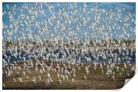 Murmuration of black-tailed godwits, Print