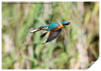 Kingfisher Flying With Fish, Print