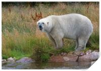 Male Polarbear Standing by the Lake, Print