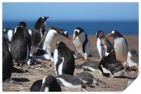 Gentoo Penguins in the Rookery, Print