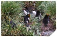 Macaroni Penguins in Their Rookery, Print
