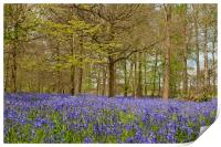 Bluebell Woods Greys Court Oxfordshire , Print