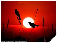 Redwing Blackbirds On Red Sunset., Print