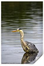 Grey Heron fishing, Print