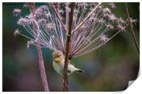 Young Willow Warbler perched in Cow Parsley, Print