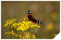 Red Admiral butterfly, Print