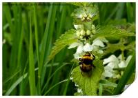 Bee on Nettle flowers; two stingers together, Print