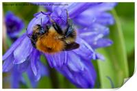 Bumble Bee on Bluebells, Print