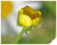 Buttercup and Daisy, Print