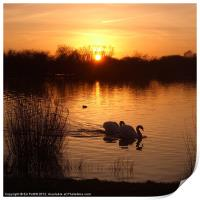 Swan Couple at Sunset, Print