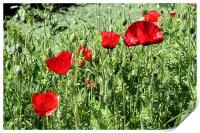 Red poppies, Print