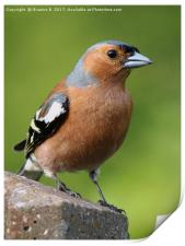 Male Chaffinch on post, Print