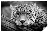 Jaguar Stare Black & White, Print