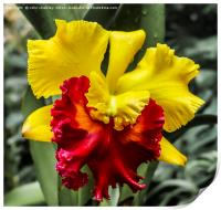 Yellow and Red Ochid, Print