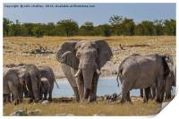 An old Bull Elephant Protecting His Herd, Print
