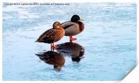 Two Ducks , Icy Reflections, Print