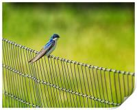 Tree Swallow Sitting on a Fence, Print