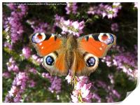 Peacock Butterfly on Heather, Print
