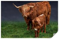 Highland Cattle And Calf, Print