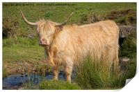 Highland Cow At A Stream, Print