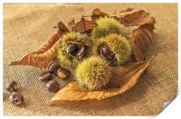 Sweet Chestnut seed pods, Print