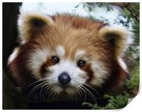 Red Panda, (Ailurus fulgens, or shining-cat), Print